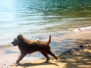 french pooch chasing coconut in andaman sea (mrscarmichael)