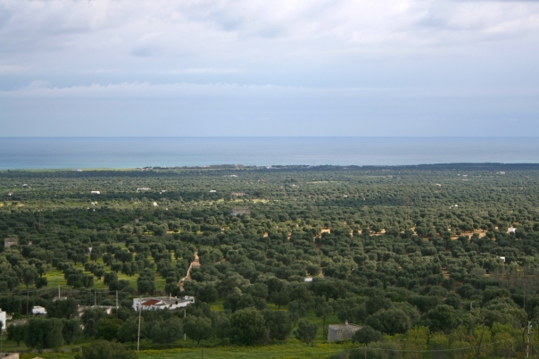 olive trees as far as you can see (mrscarmichael)